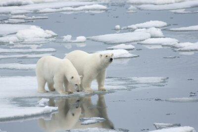 Fototapeta Female Polar Bear with Yearling Cub