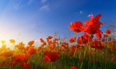 Fototapeta Field of poppies at sunrise