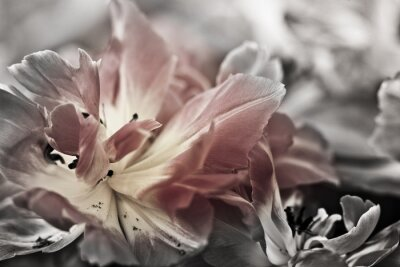Fototapeta Fine art tulipany zbliżenie, niewyraźne i ostre