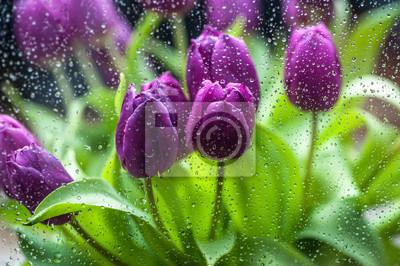 Fototapeta Fioletowe tulipany w deszczu
