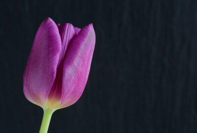 Fototapeta Fioletowy tulipan na tle łupków