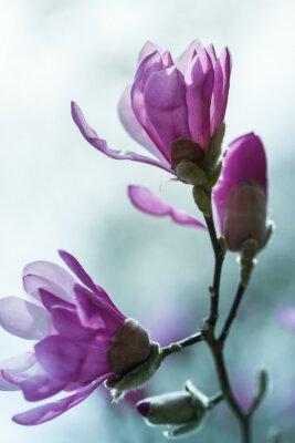 Fototapeta Flowering pink magnolia