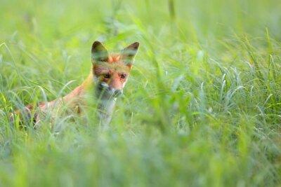 Fototapeta Fox ukryte w trawie na wolności