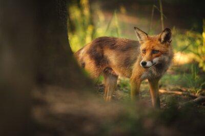 Fototapeta Fox w lesie latem