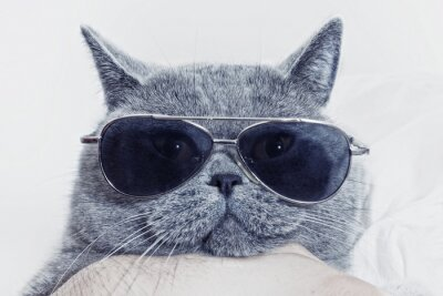 Fototapeta Funny kaganiec szary kot w okularach