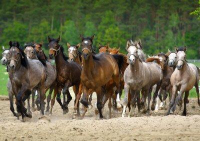 Fototapeta Galop konie arabskie