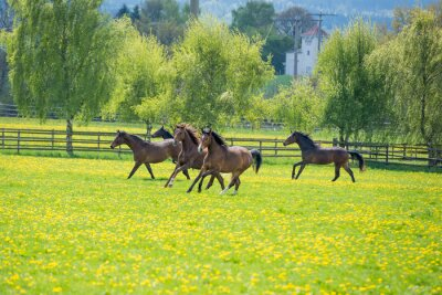 Fototapeta galopoierende młode konie na pastwisku