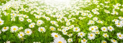 Fototapeta Gänseblümchen, Blumenwiese im Sommer, Baner