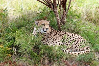 Fototapeta gepard 03