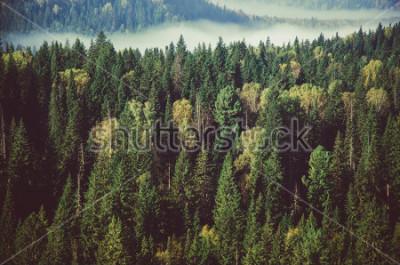 Fototapeta gęsta mgła pokryta gęstym lasem iglastym.
