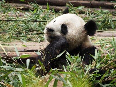 Fototapeta Giant Panda jedzenia bambusa w Chengdu w prowincji Syczuan w Chinach