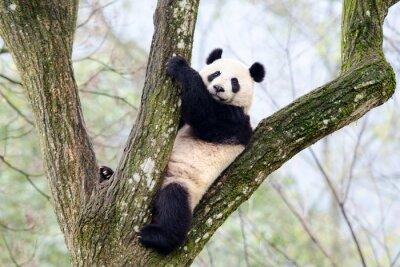 Fototapeta Giant Panda siedzi w drzewie, Syczuan, Chiny