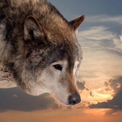 Fototapeta Głowa wilka na tle nieba słońca