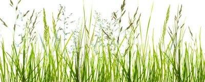 Fototapeta Gräser, grashalme, wiese vor weißem hintergrund