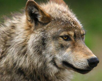 Fototapeta Gray Wolf strzał głową.