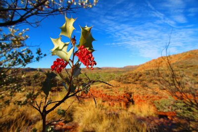 Fototapeta Grevillea wickhamii w Trephina Gorge, Australia
