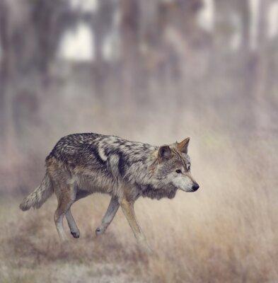 Fototapeta Grey Wolf (Canis lupus)