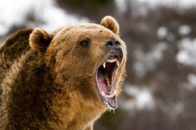 Fototapeta Grizzly Bear