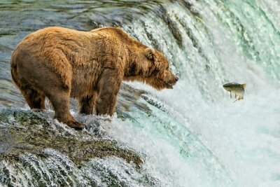 Fototapeta Grizzly Bear Park Narodowy Katmai Alaska