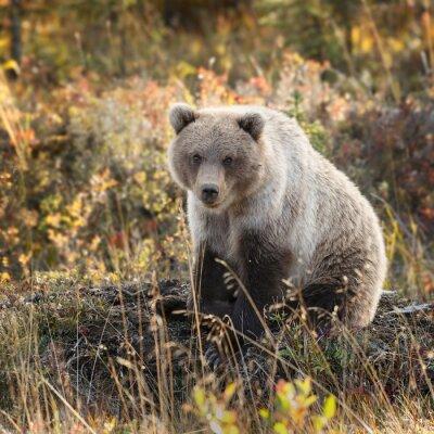 Fototapeta Grizzly Bear w kolorach jesieni na Alasce