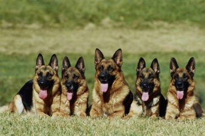 Fototapeta  groupe de 5 bergers allemands allongés de face - obéissance