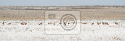 Fototapeta Grupo de avutardas entre la vegetación con escarcha durante el invierno. Otis tarda.