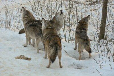 Fototapeta Heulende Wölfe