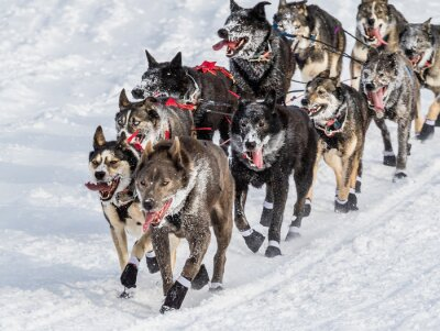 Fototapeta Iditarod psy zaprzęgowe
