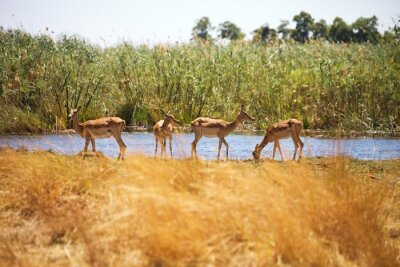 Fototapeta Impala, Aepyceros melampus, Bwabwata National Park, Namibia