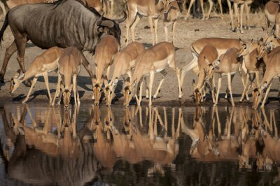 Fototapeta Impala (Aepyceros melampus) del Timbavati Nature Reserve w Afryce Sud