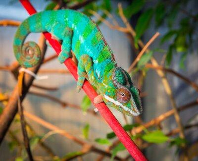 Fototapeta Jasny i kolorowy kameleona siedzi na gałęzi
