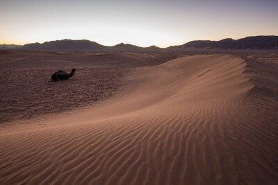 Fototapeta Jeden samotny wielbłąda