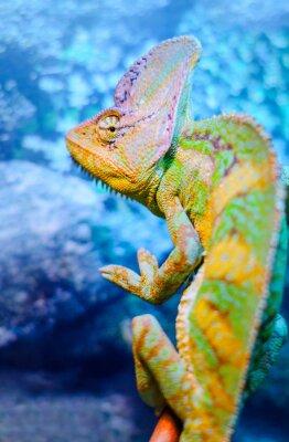 Fototapeta Jeden zielony kameleon