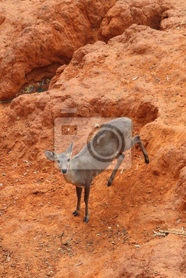Fototapeta Jeleń stojący