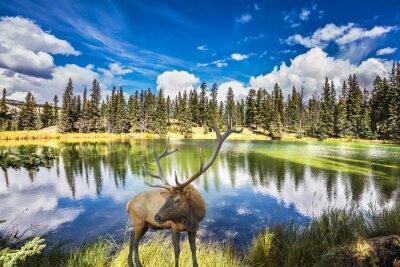 Fototapeta Jeleń z rogami Branchy kosztuje od urokliwego jeziora