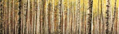 Fototapeta jesienią brzozowy las krajobraz panorama