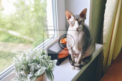 Kanadyjski Beztroski Sfinks Kot Siedzi W Pobliżu Pola Fototapeta