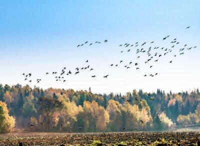 Fototapeta Kanadyjskie gęsi migracji