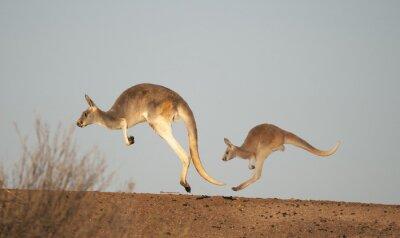 Fototapeta kangury w Sturt National Park, Nowa Południowa Walia, Australia