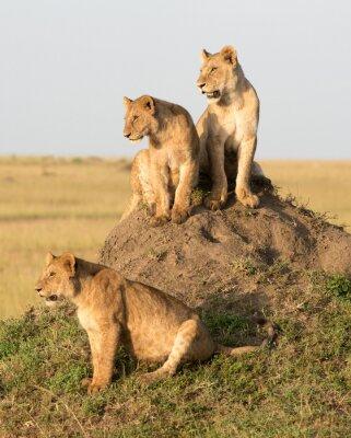 Fototapeta Kenia, Afryka, Masai Mara, samica lwa z młodymi.