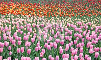 Keukenhof - ogród Europy, Holandia