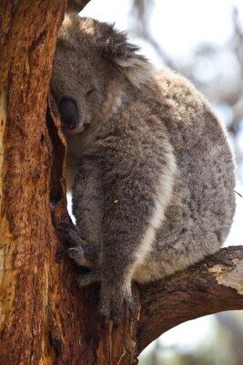 Fototapeta Koala śpi w ciągu dnia