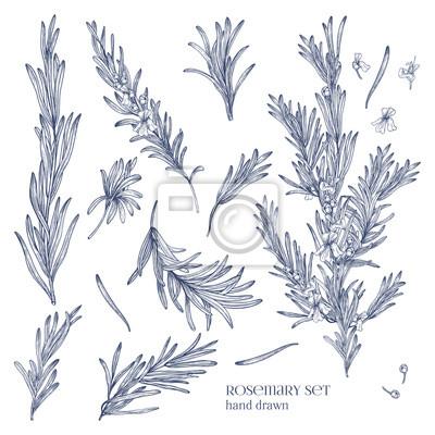 Fototapeta Kolekcja monochromatycznych rysunków roślin rozmarynu z kwiatami samodzielnie na białym tle. Pachnące zioło ręcznie narysowane w stylu retro. Widok z różnych kątów. Ilustracji wektorowych.