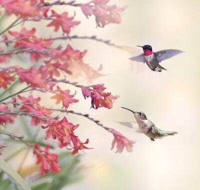 Fototapeta Kolibry i czerwone kwiaty