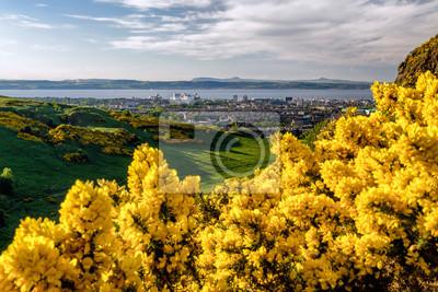 Kolor żółty kwitnie na wzgórzu nad miastem Edynburg, Szkocja