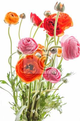 Fototapeta Kolorowe kwiaty jaskier (perski) Ranunculus