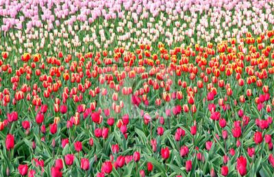 Kolorowi tulipany w ogródzie