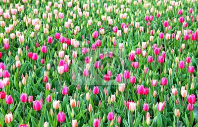 Kolorowi tulipany w ogródzie. Kekenhof - Holandia