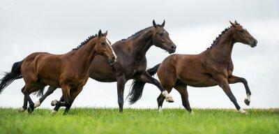 Fototapeta Konie galopujący w polu
