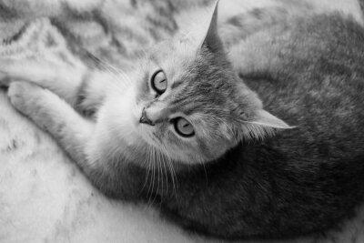 Fototapeta Kot brytyjski - Czarno-biały